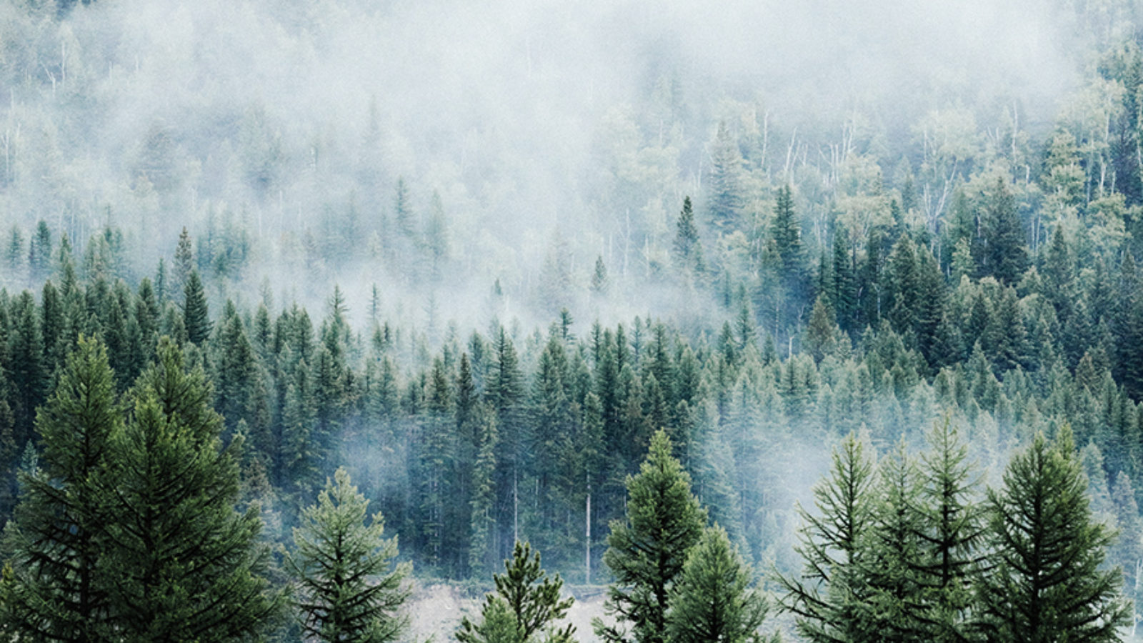 A pine forest surrounded by fog